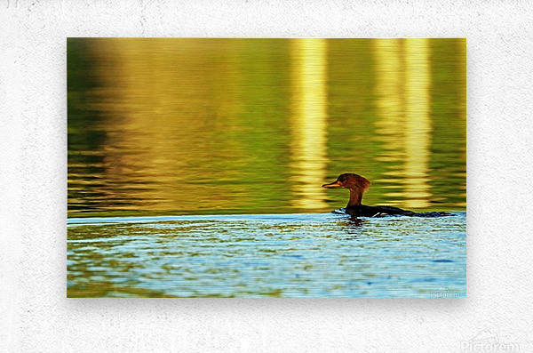 Merganser In Setting Sun  Metal print