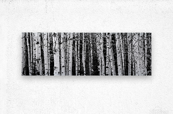 Birch Tree Forest  Metal print