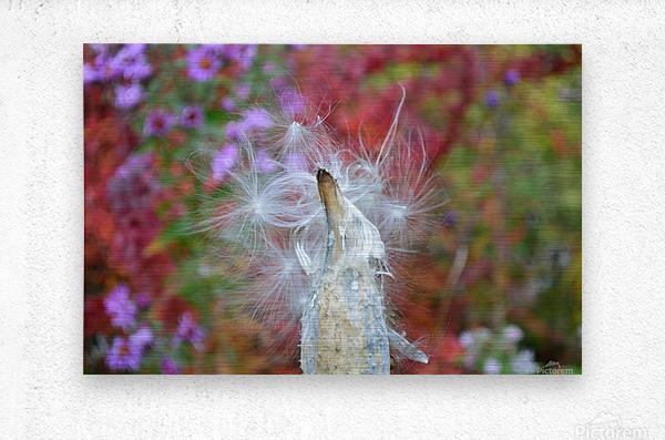 Milkweed Seeds  Metal print