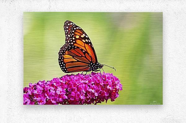 Monarch On Magenta Buddleia  Metal print