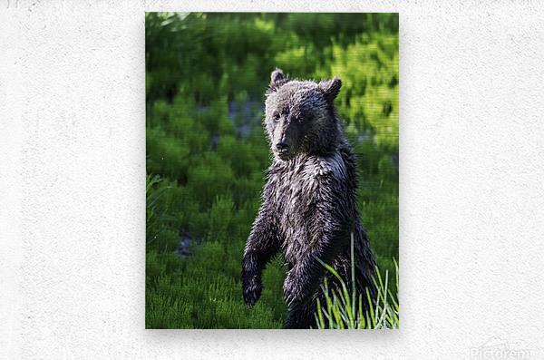 A grizzly cub named Pepper  Metal print
