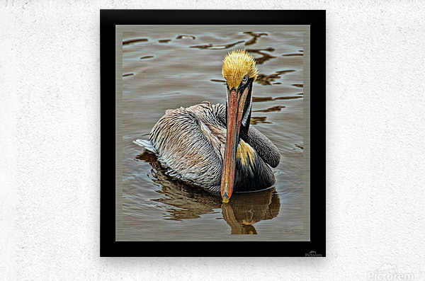 Brown Pelican - HDR  Metal print