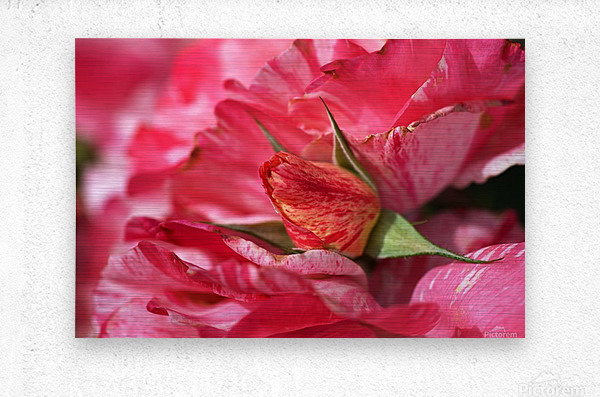 Rose Bud On My Petals  Metal print