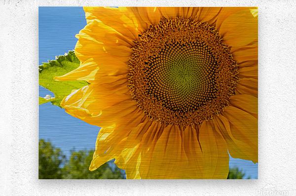 Sunflower 10  Metal print
