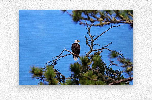 Bald Eagle Looking Regal  Metal print
