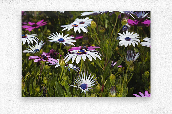 Daisies Of White And Pink  Metal print
