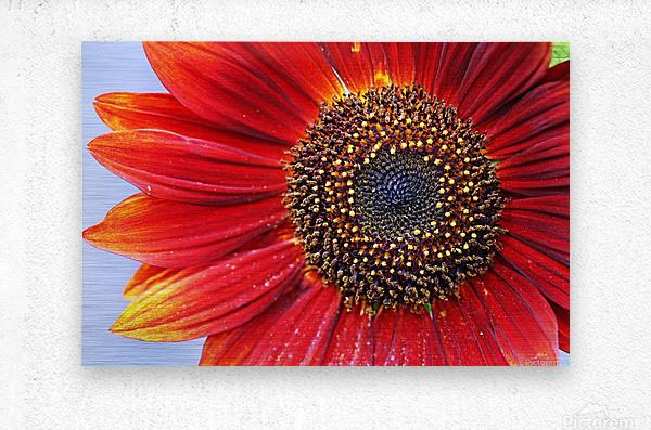 Ruby Red Sunflower  Metal print