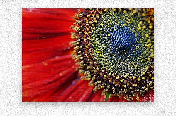 Spiral Center Of Sunflower  Metal print