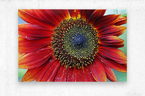 Red Sunflower With Yellow Tips  Metal print