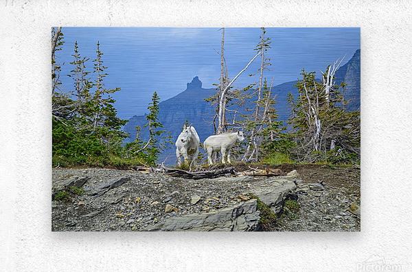 Mountain Goats at Logan Pass  Metal print