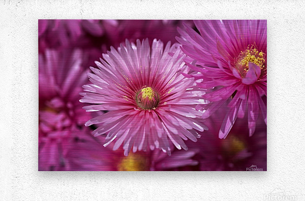 Pink Ice Plant Flowers  Metal print