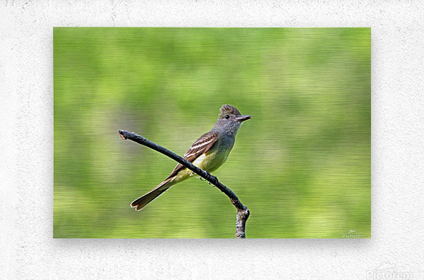 Great Crested Flycatcher With Snack  Metal print