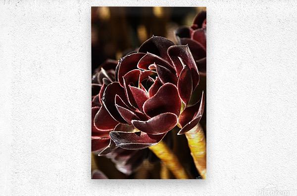 Purple Aeonium Succulent  Metal print