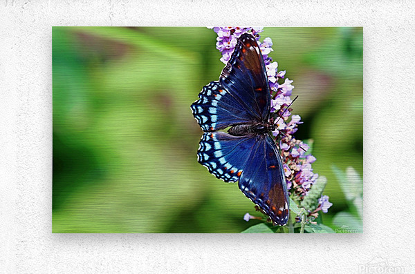 Red Spotted Purple Beauty  Metal print