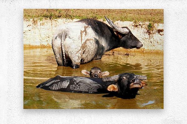 Water Buffalo Family Portrait  Metal print