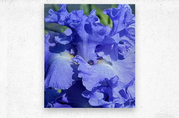 Metoleus Blue Bearded Iris  Metal print