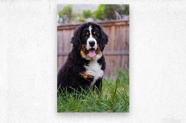 Bernese Mountain Dog Puppy 1  Metal print