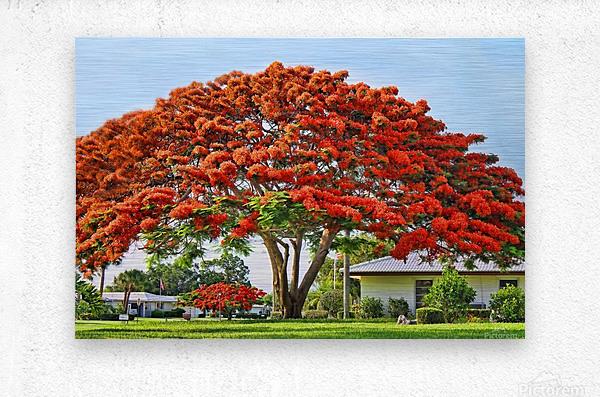 Royal Poinciana Tree  Metal print