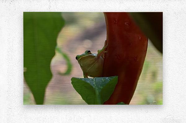 Peeping Frog  Metal print