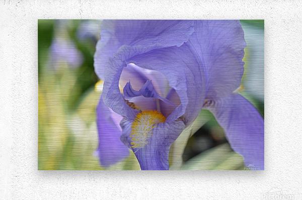 Purple Iris Photograph  Metal print