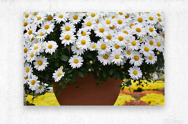 White Flowers In Hanging Pot White Flowers Canvas Print White Flowers Photograph 889  Metal print
