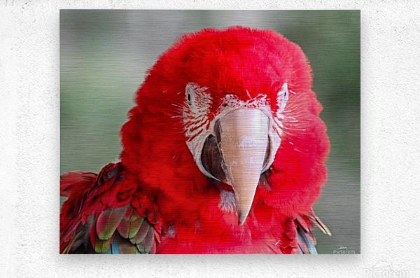 Red Parrot   Metal print