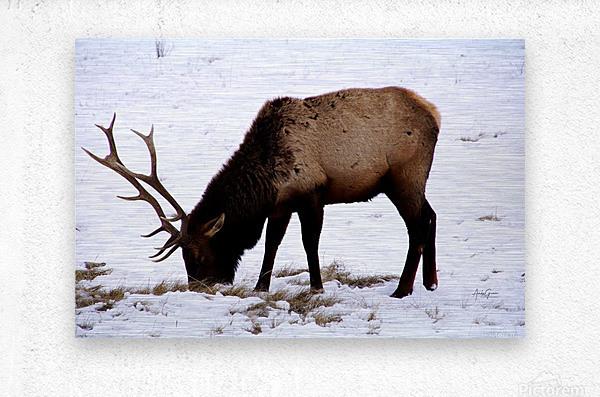 Elk in Wyoming  Metal print