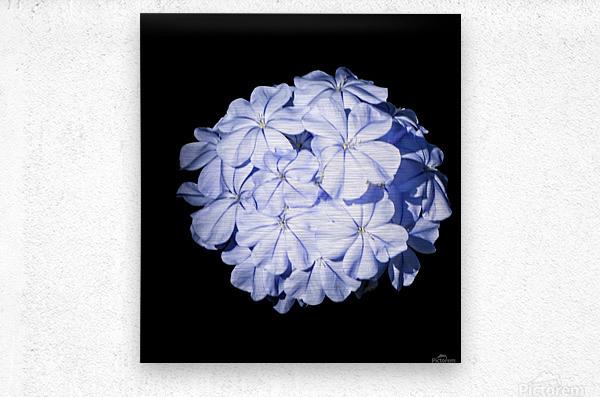 Blue Plumbago  Metal print