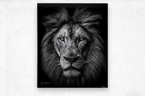 A Lion in Black & White  Metal print