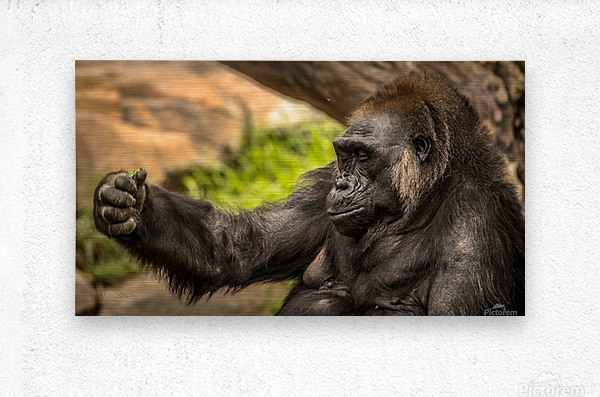 Quiet Gorilla Sleeping  Metal print