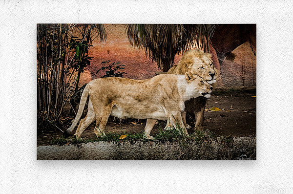 The Loving Lion Couple  Metal print