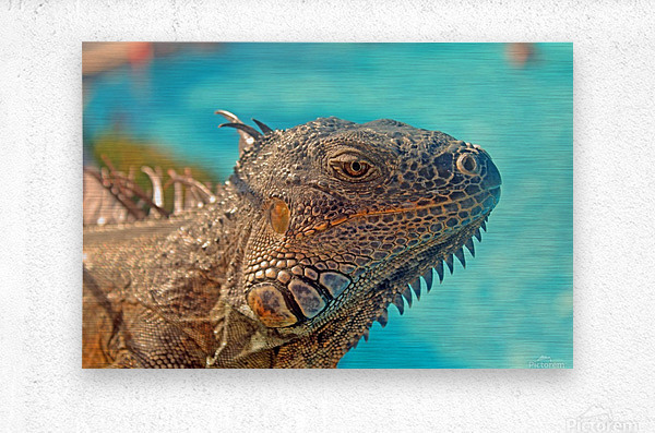 Spiny-Tailed Iguana  Metal print