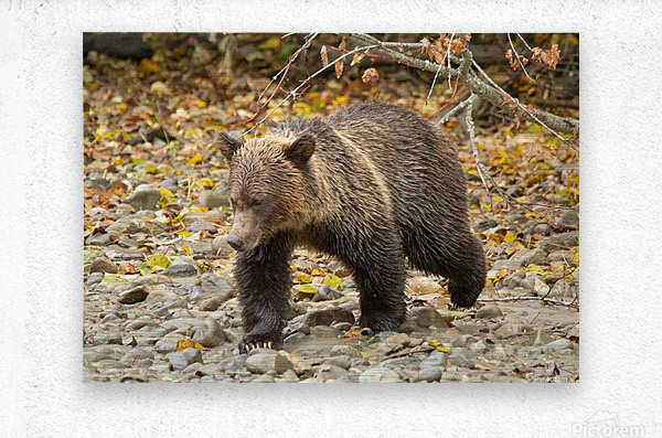 Grizzly Youngster  Metal print