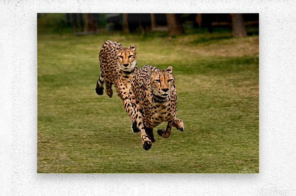 The Cheetah Brothers  Metal print