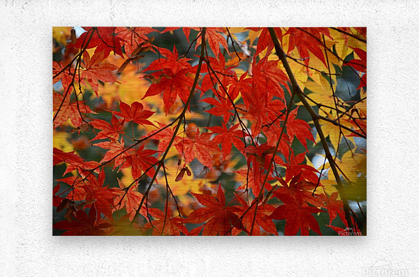 Fall Foliage Photography   Metal print