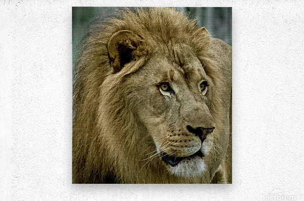 Extreme close up Lion  Metal print