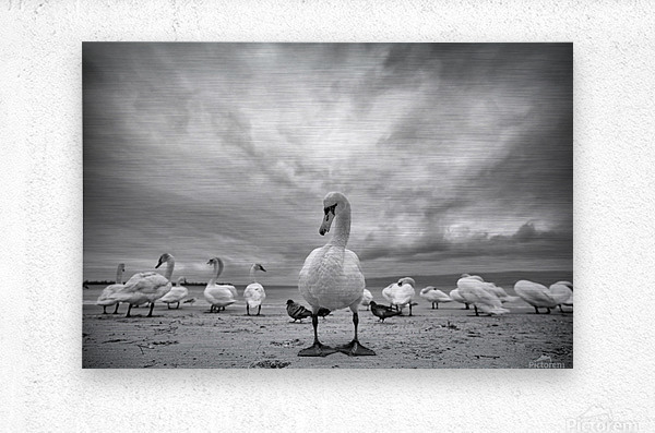 Swans on a winter beach  Metal print