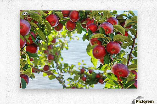Apples Orchard- Harvest  Metal print