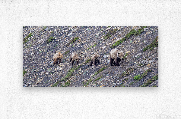 Grizzly Bear Family - Walk this way.  Metal print