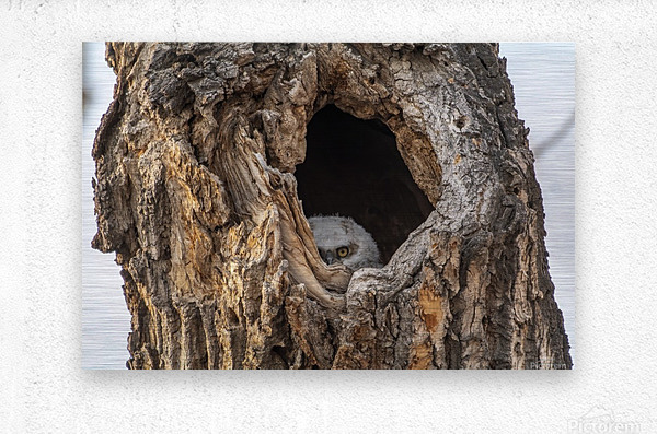 Great Horned Owl - Peek a boo  Metal print