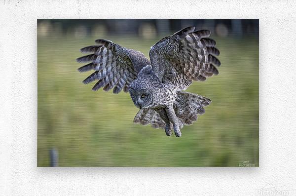 Great Grey Owl - Incoming  Metal print
