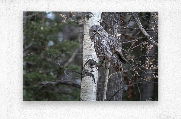 Great Grey Owl - Its Just a Snack  Metal print