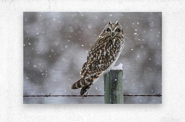 Short Eared Owl - Snow Storm  Metal print