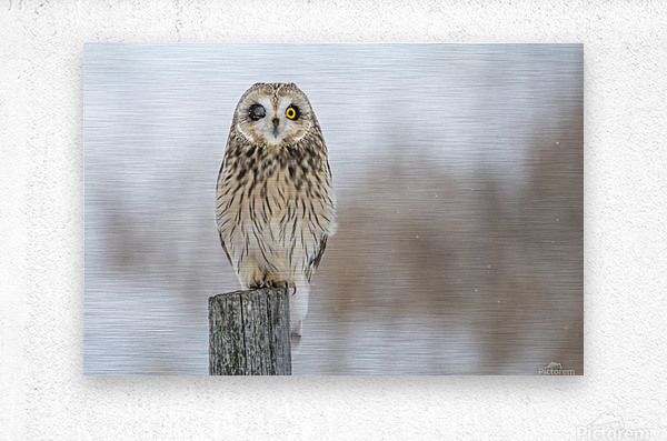 Short Eared Owl - Wink  Metal print