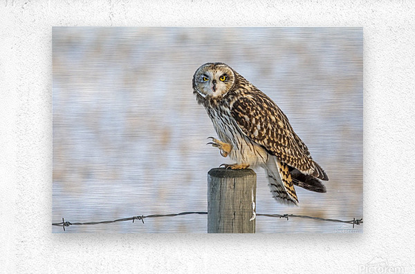 Short Eared Owl - Just an Itch  Metal print