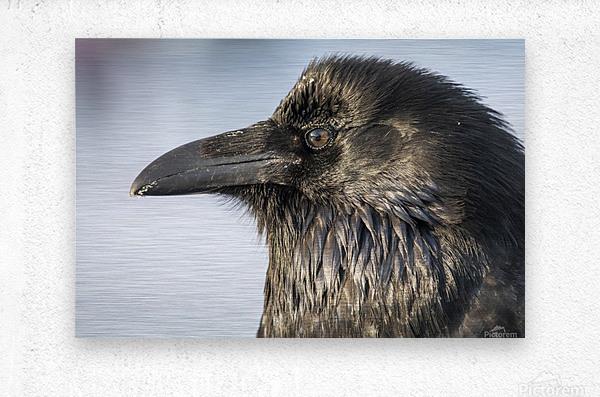 Raven - Up Close  Metal print
