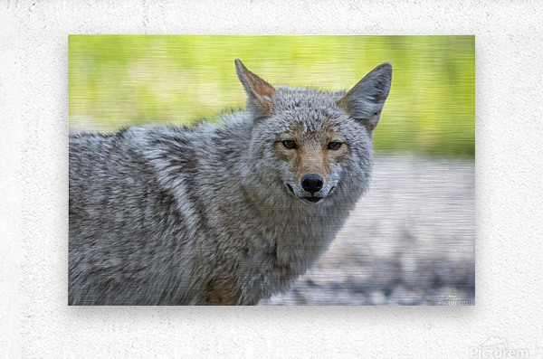 Coyote - Looking at you.  Metal print
