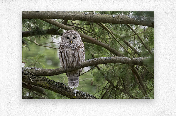 Barred Owl - Eye Contact  Metal print
