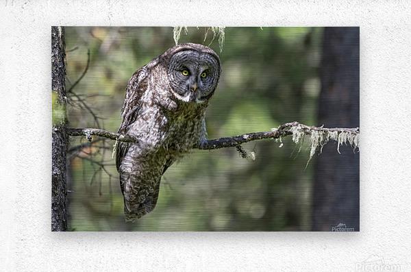 Great Grey Owl - Hunting mode  Metal print