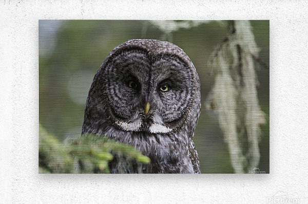 Great Grey Owl - Eye to Eye  Metal print